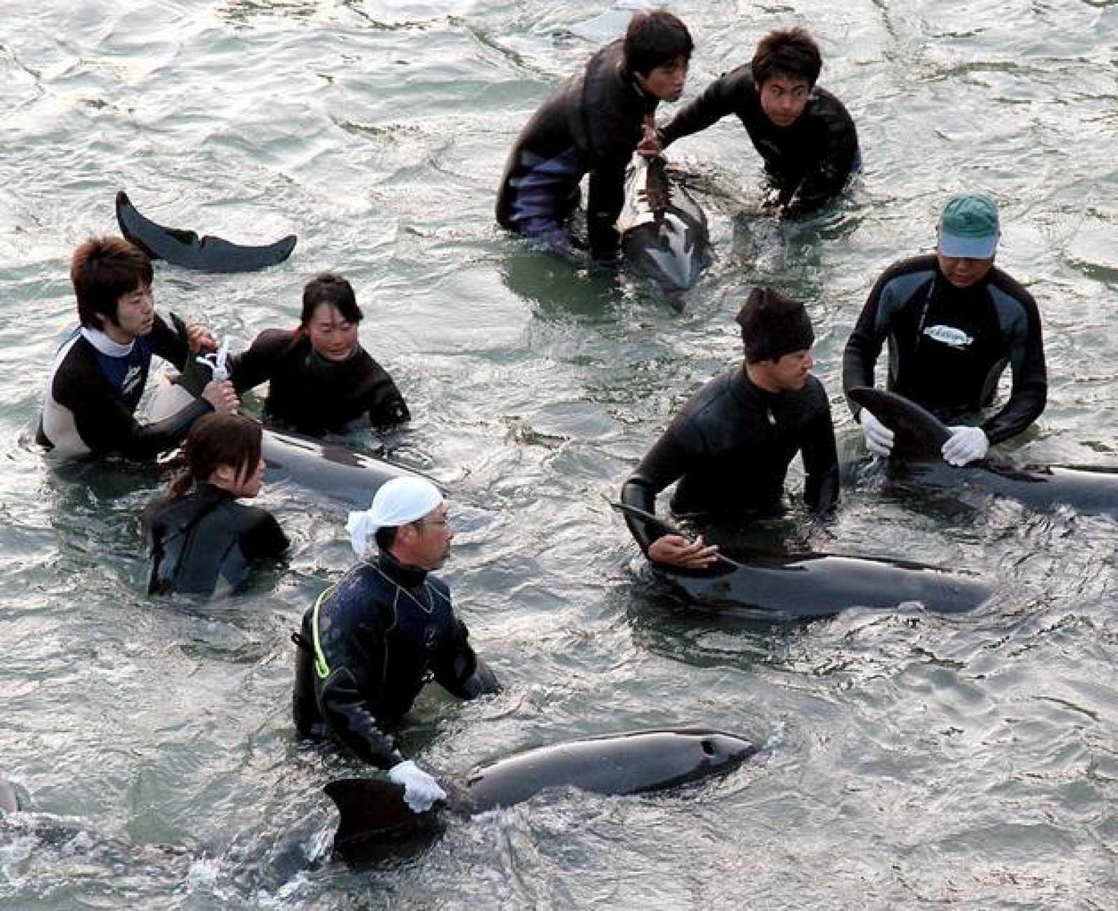 Pescadores locales atrapaban a un grupo de delfines en Taiji, Wakayama, Japón, el jueves 22 de febrero.