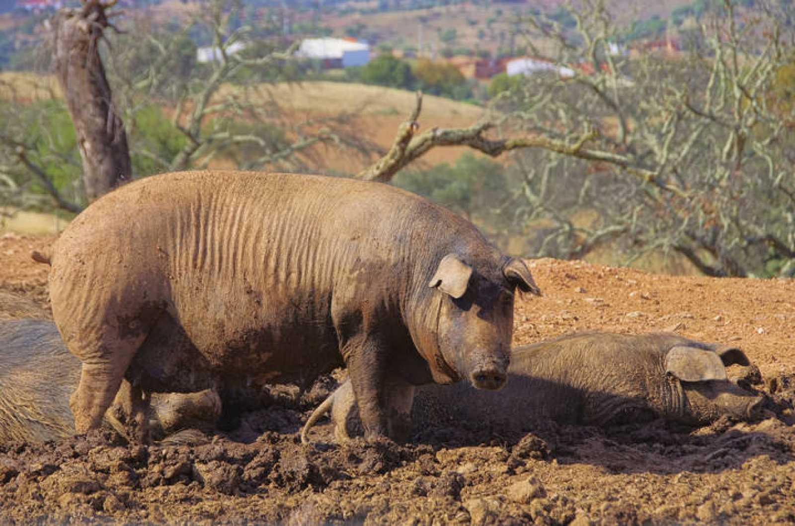 Cerdo negro ibérico actual.