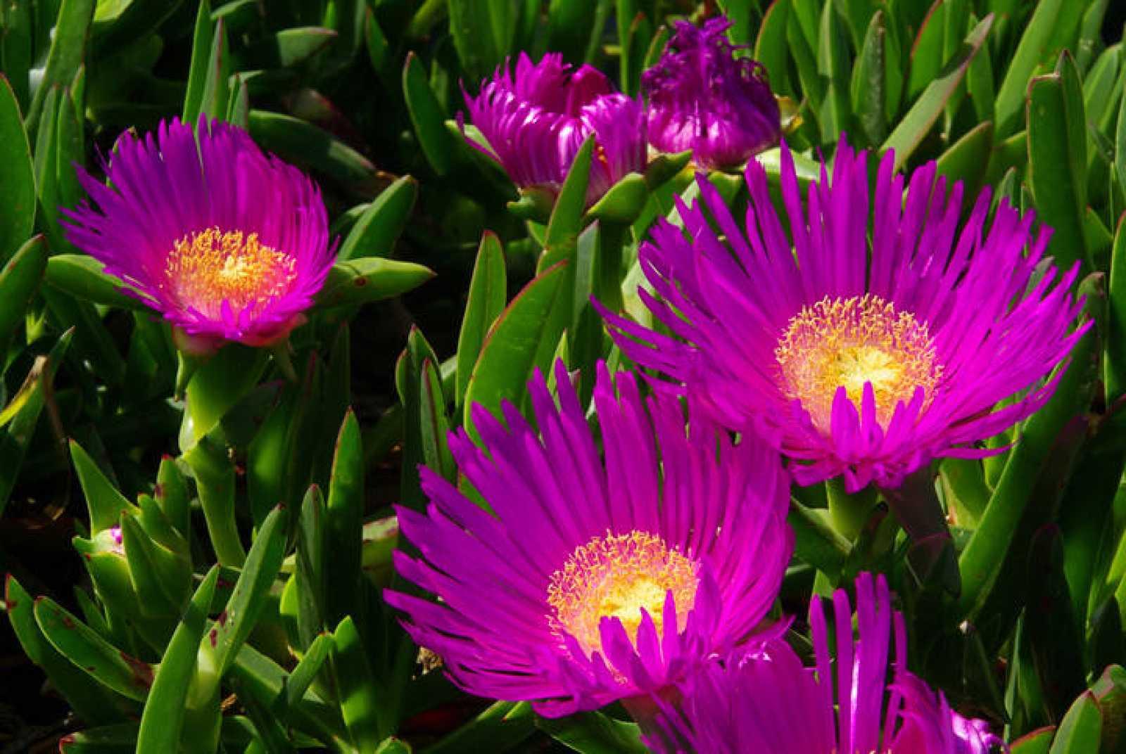 Flores del carpobrotus.