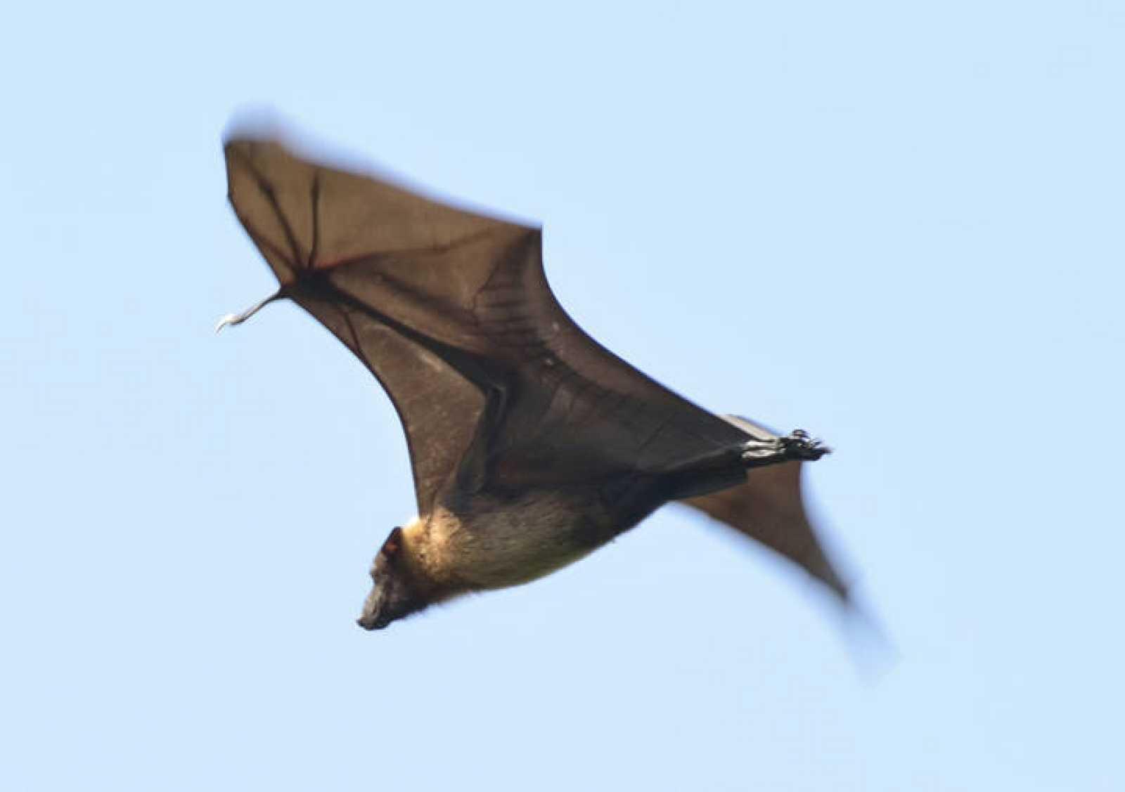 Un murciélago de la fruta volando.