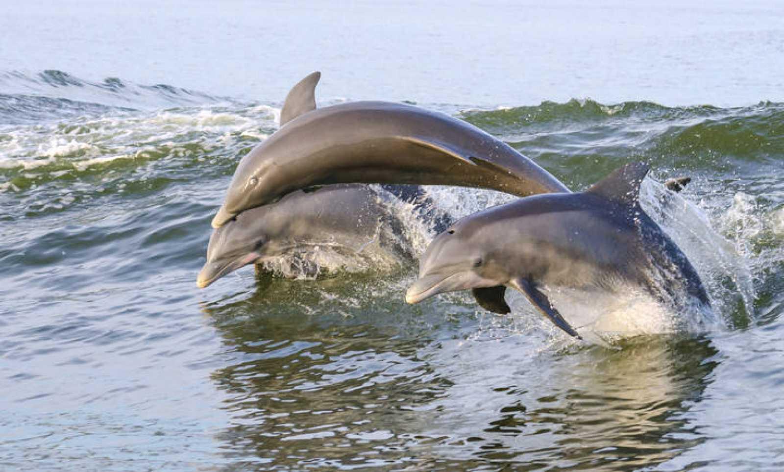 Delfines saltando en el mar.