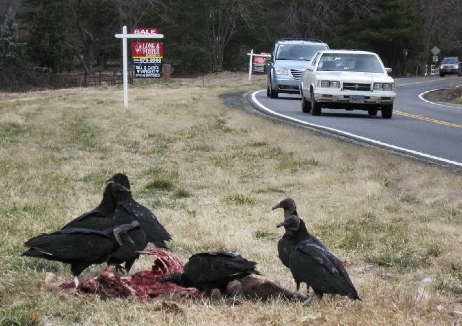 Buitres negros en una carretera del Estado de Virginia, en Estados Unidos