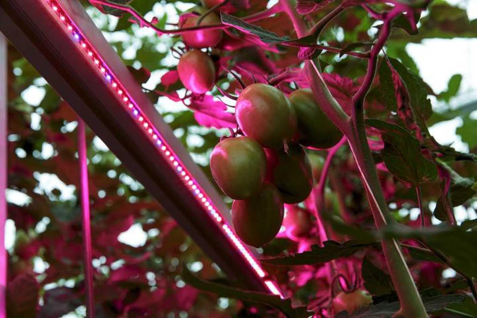 Una tomatera en un invernadero holandés en Someren
