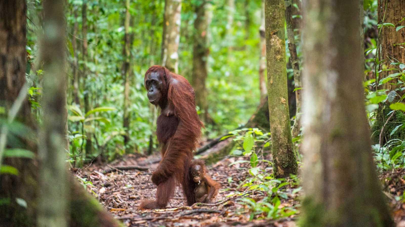 Una hembra de orangután camina junto a su cría en las selvas de Borneo.
