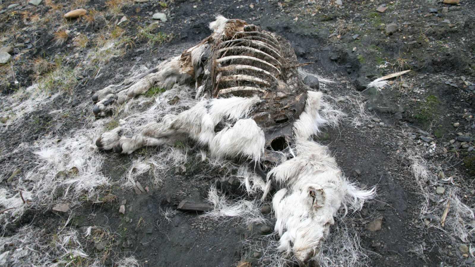 Las esporas de ántrax se pueden preservar en el suelo congelado del Ártico durante más de un siglo.