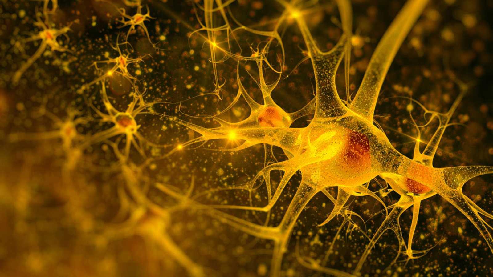 La neurogénesis es posible gracias al bloqueo de la enzima PDE7