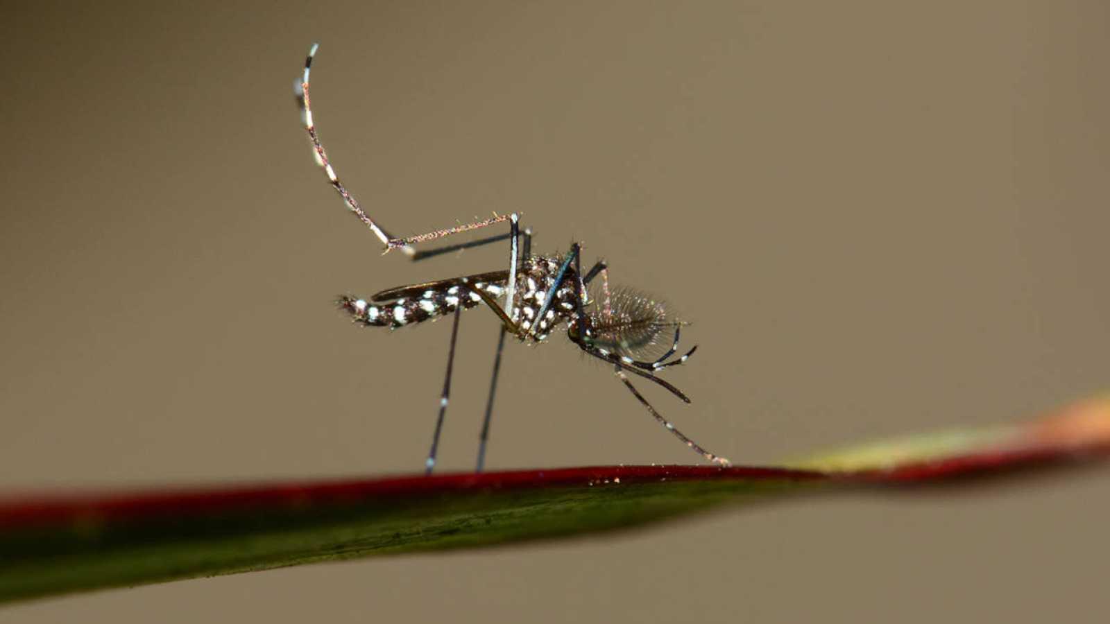 El mosquito tigre avanza hacia el interior de España desde el Mediterráneo