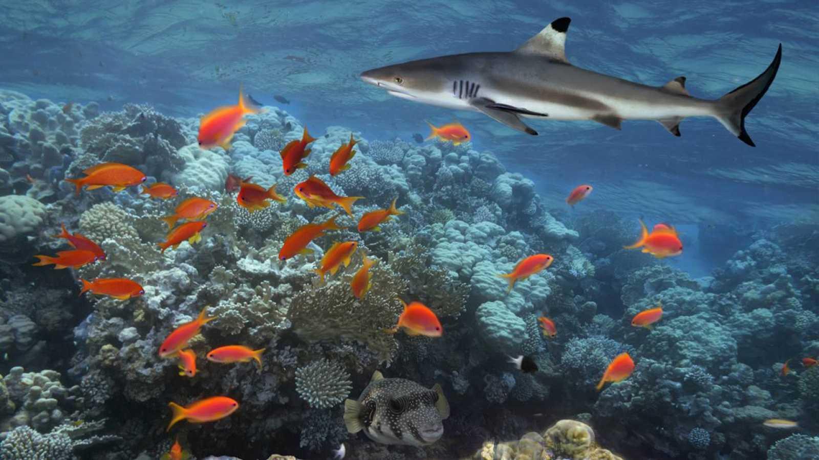 Un tiburón rojo del caribe nada cerca de un banco de peces