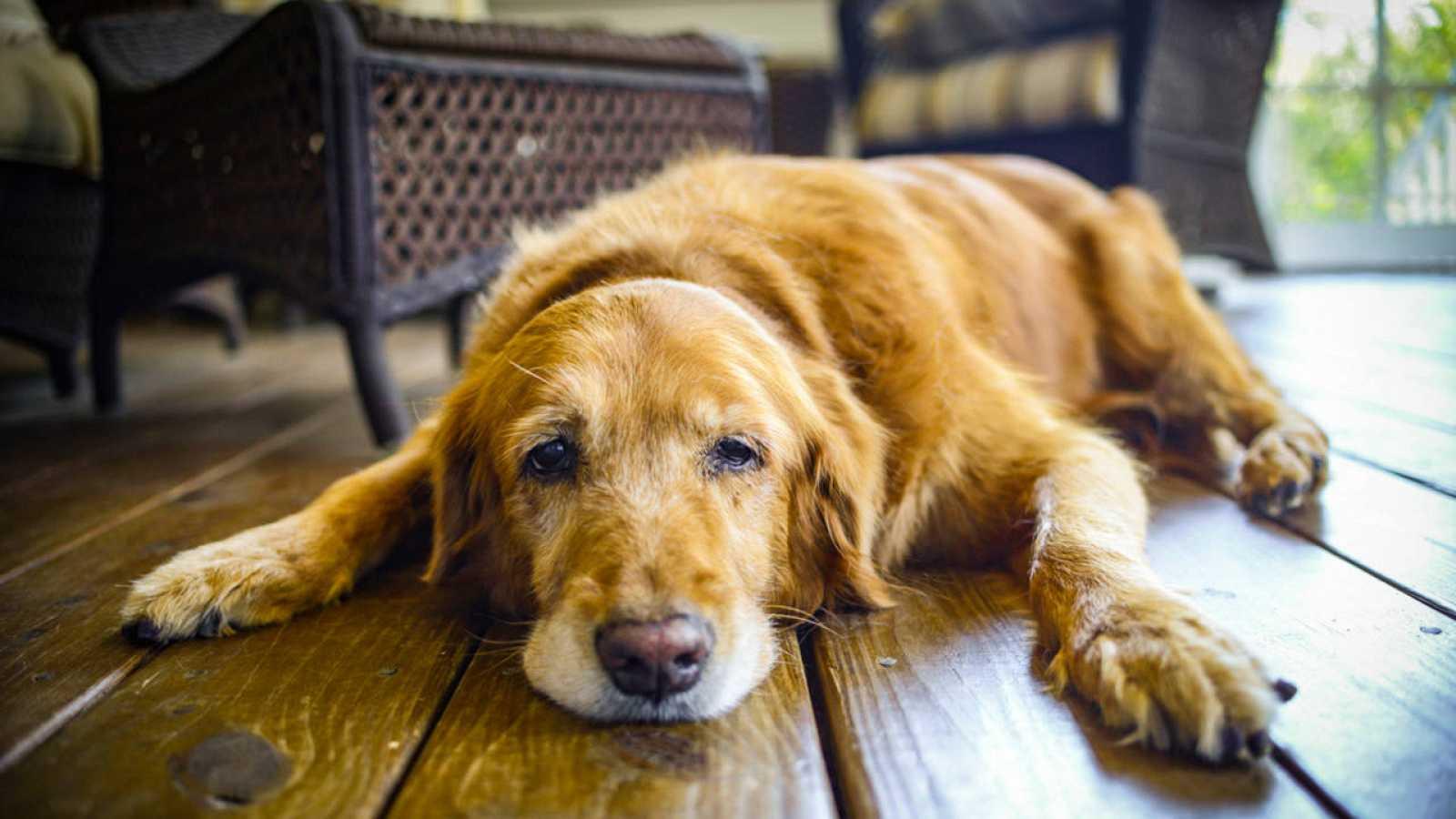 Según los investigadores, los perros desarrollan demencia de forma similar a los humanos.