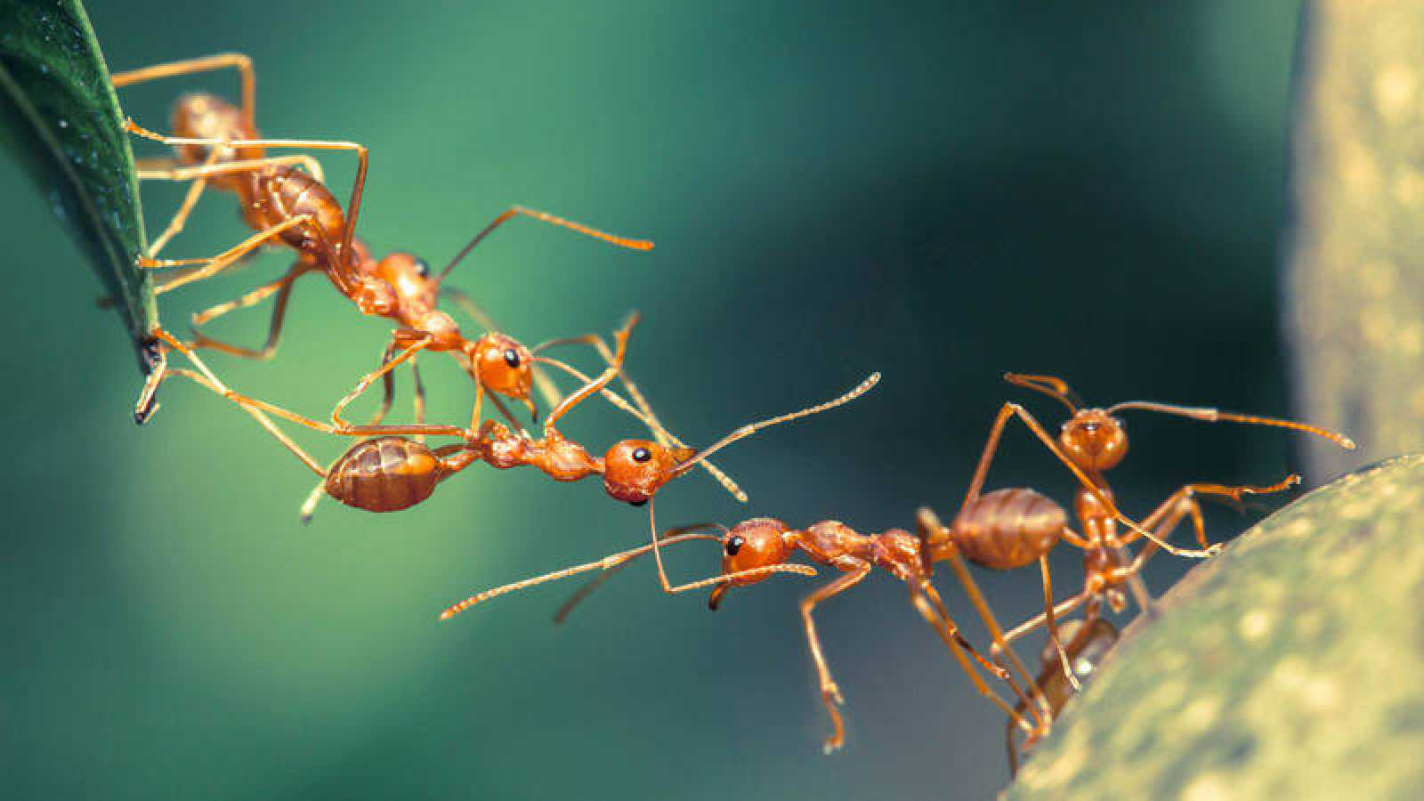 Cómo trabajan las hormigas juntas