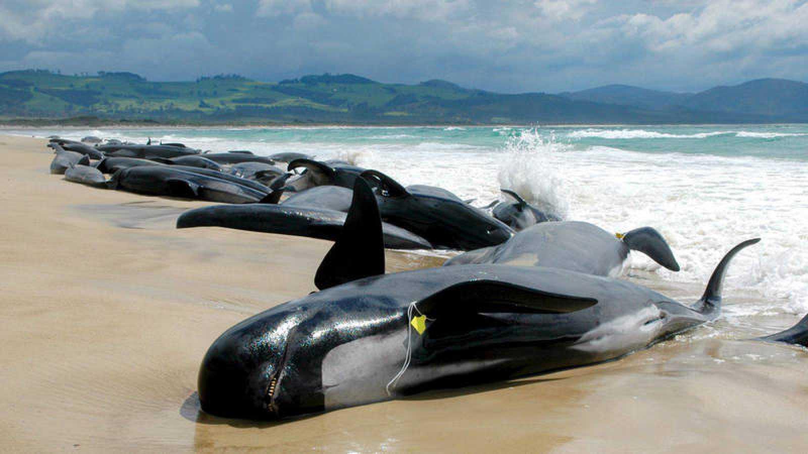 Los embarrancamientos costeros ocurren alrededor del mundo, implicando desde tres a cientos de animales por evento.