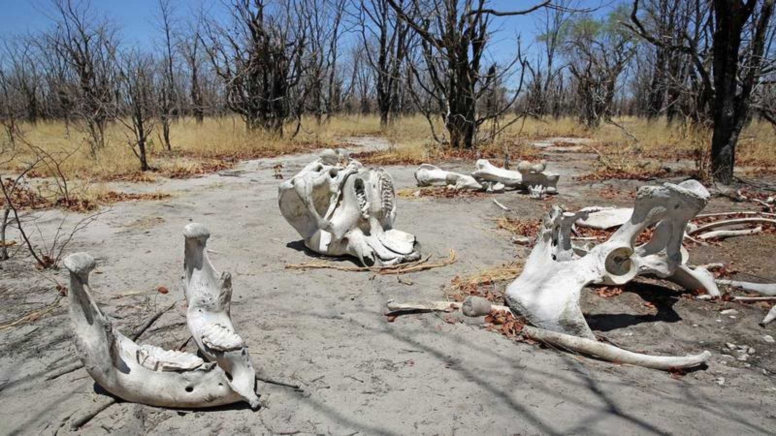 Más del 40% de las especies han experimentado una grave disminución en su población. En la imagen, restos de un elefante.