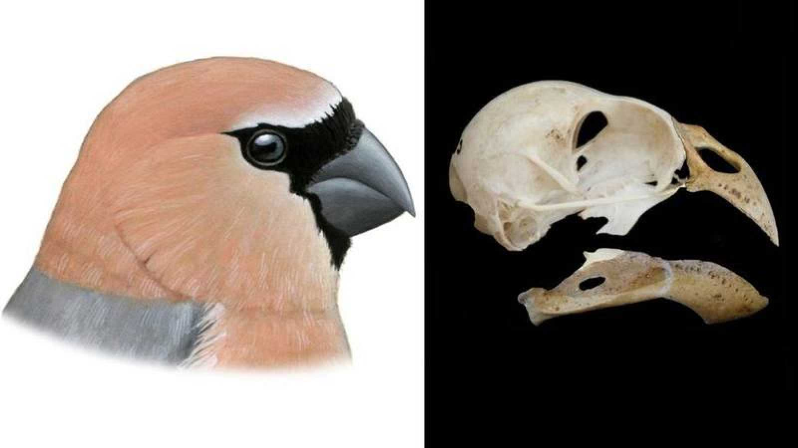 Reconstrucción de Pyrrhula crassa (izquierda) y cráneo reconstruido (derecha).