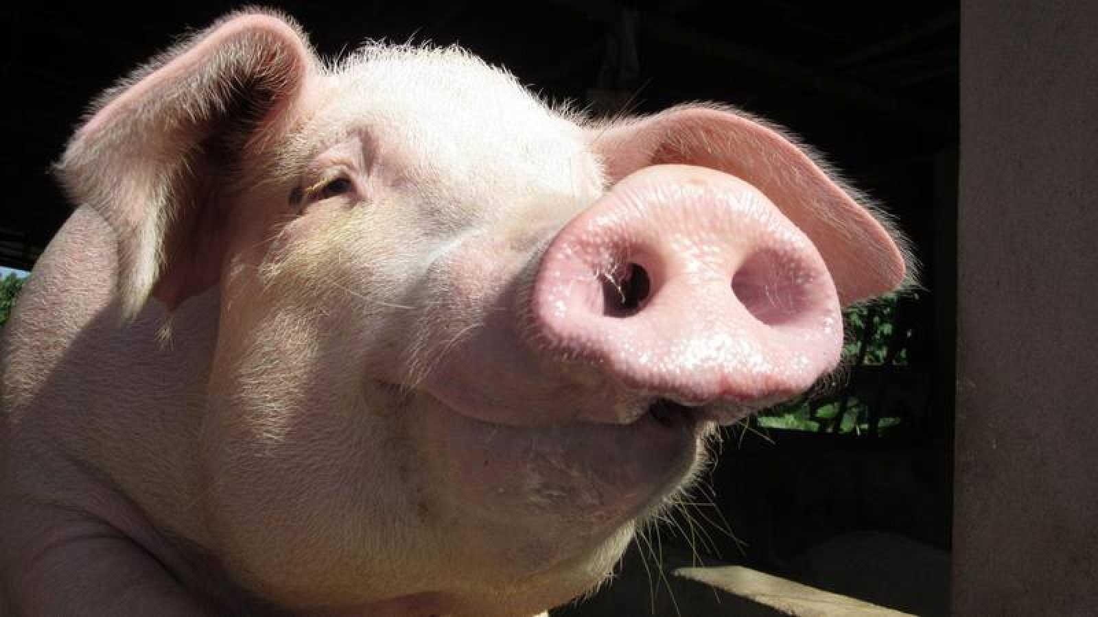 Los científicos llevan años investigando la posibilidad de utilizar órganos de cerdos en seres humanos por la compatibilidad entre los organismos de ambos.