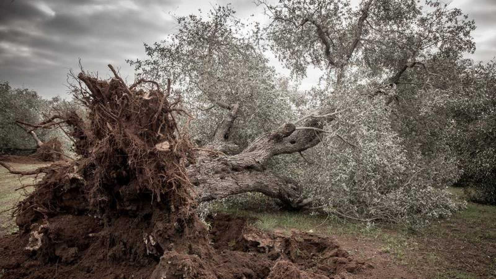 Olivo arrancado en la región italiana de Apulia, donde Xylella fastidiosa ha obligado a erradicar más de un millón de estos árboles.