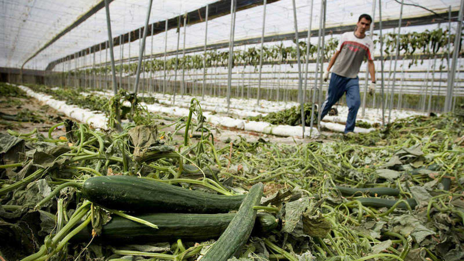 Imagen de archivo de un trabajador de Almería arrancando la plantación de pepino