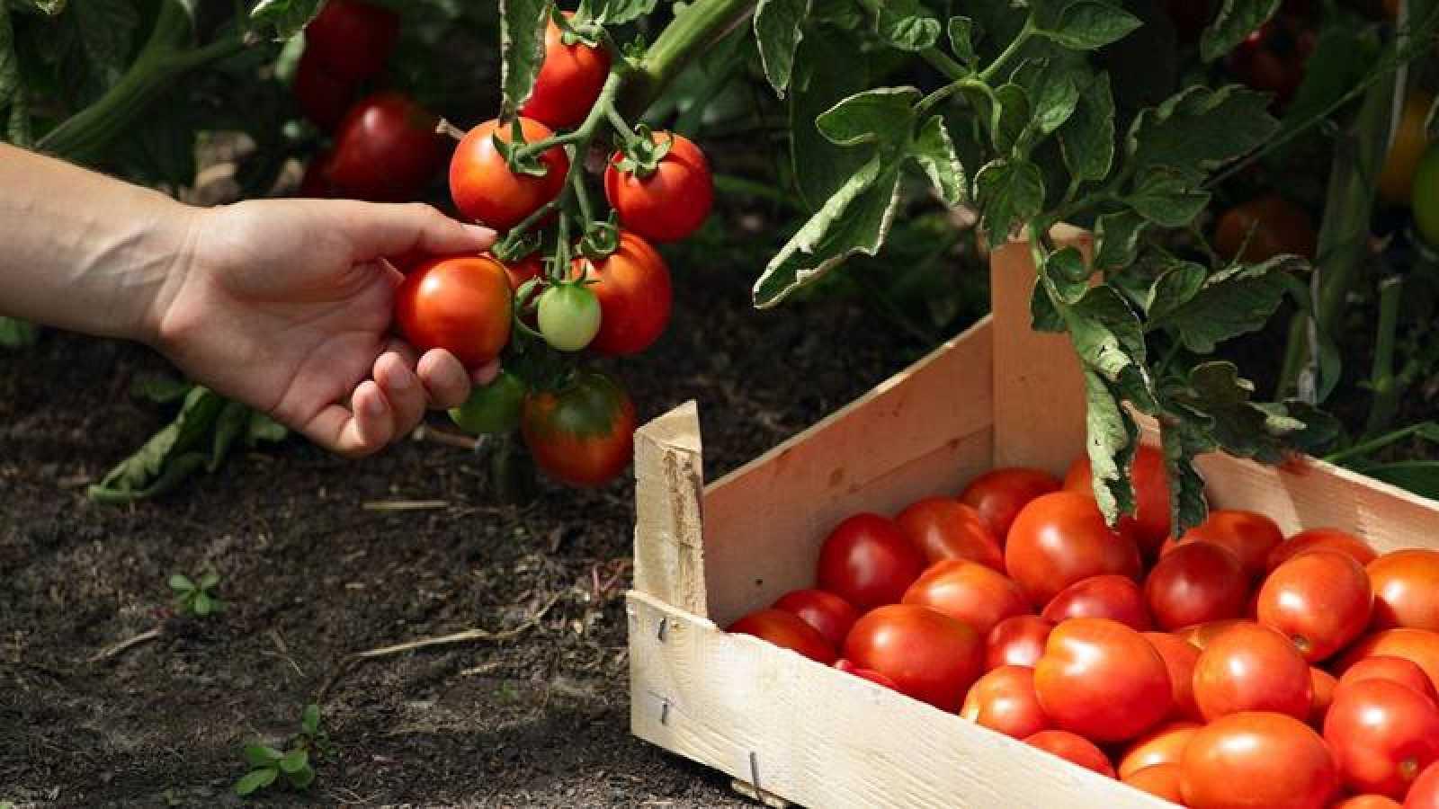 beneficios del tomate para la próstata
