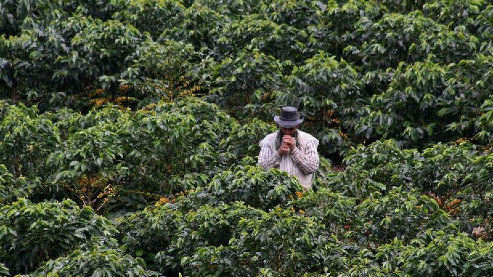 Un agricultor colombiano toma un descanso en un cafetal de Chinchiná, departamento de Caldas.