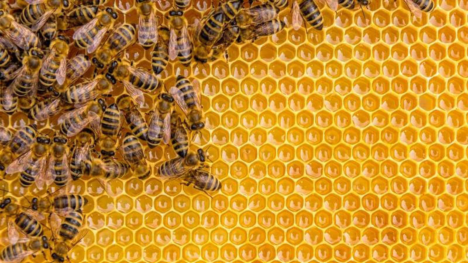 71 de los 100 cultivos que proporcionan el 90% de la alimentación mundial dependen de la polinización de las abejas.