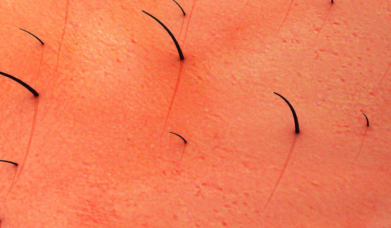 La piel vellosa se ha producido a partir de células madre pluripotentes de ratón.