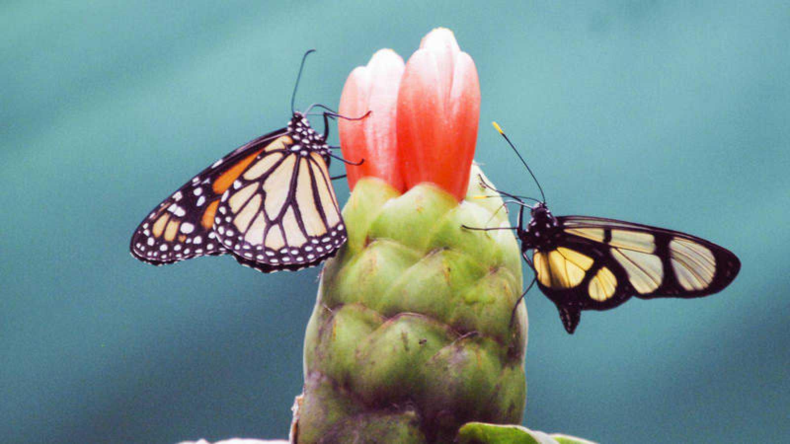 Dos mariposas que se alimentan de una flor en el mariposario de Palestina, en el norte de Perú