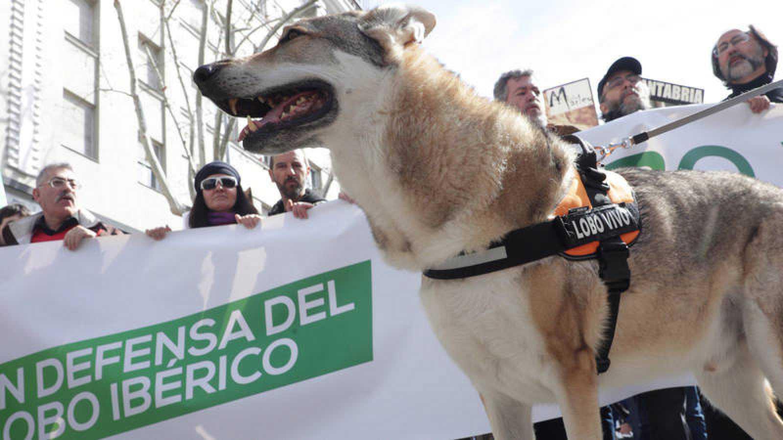 3.000 personas se manifiestan en Madrid en defensa del lobo ibérico