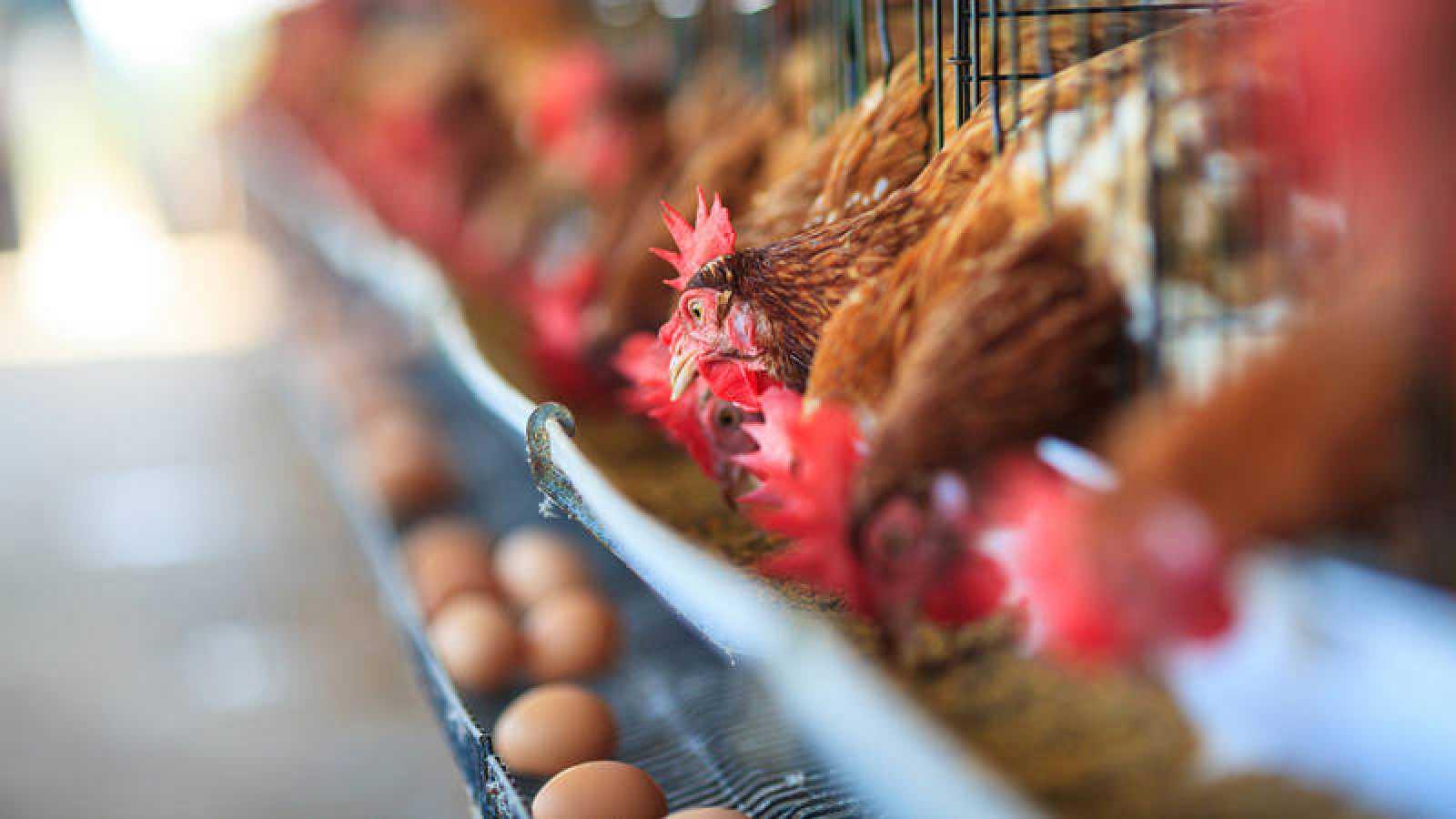 España cuenta con 1.260 granjas y una media de 67.700 gallinas cada una.