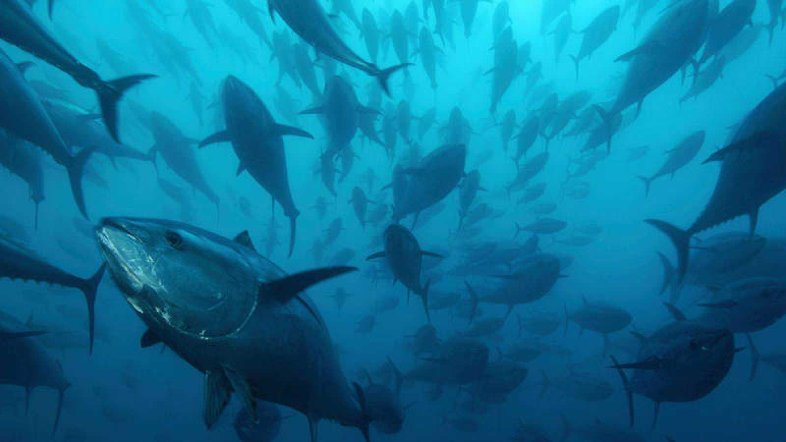 'Memoria de delfín' y el atún