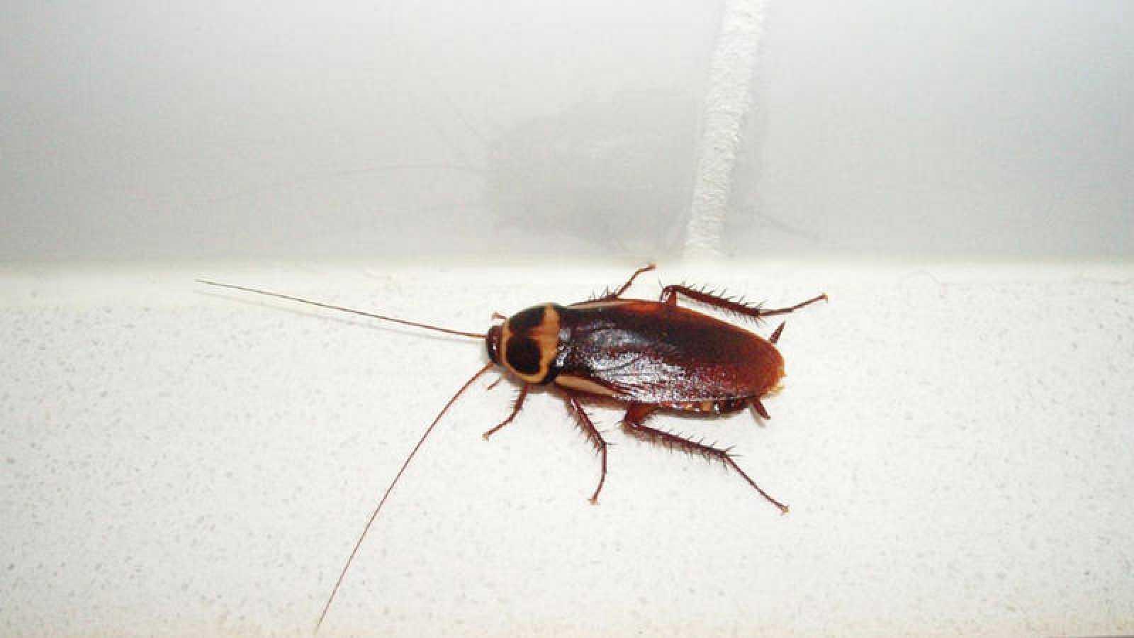 Los ejemplares adultos de la cucaracha australiana tienen una coloración marrón rojiza.