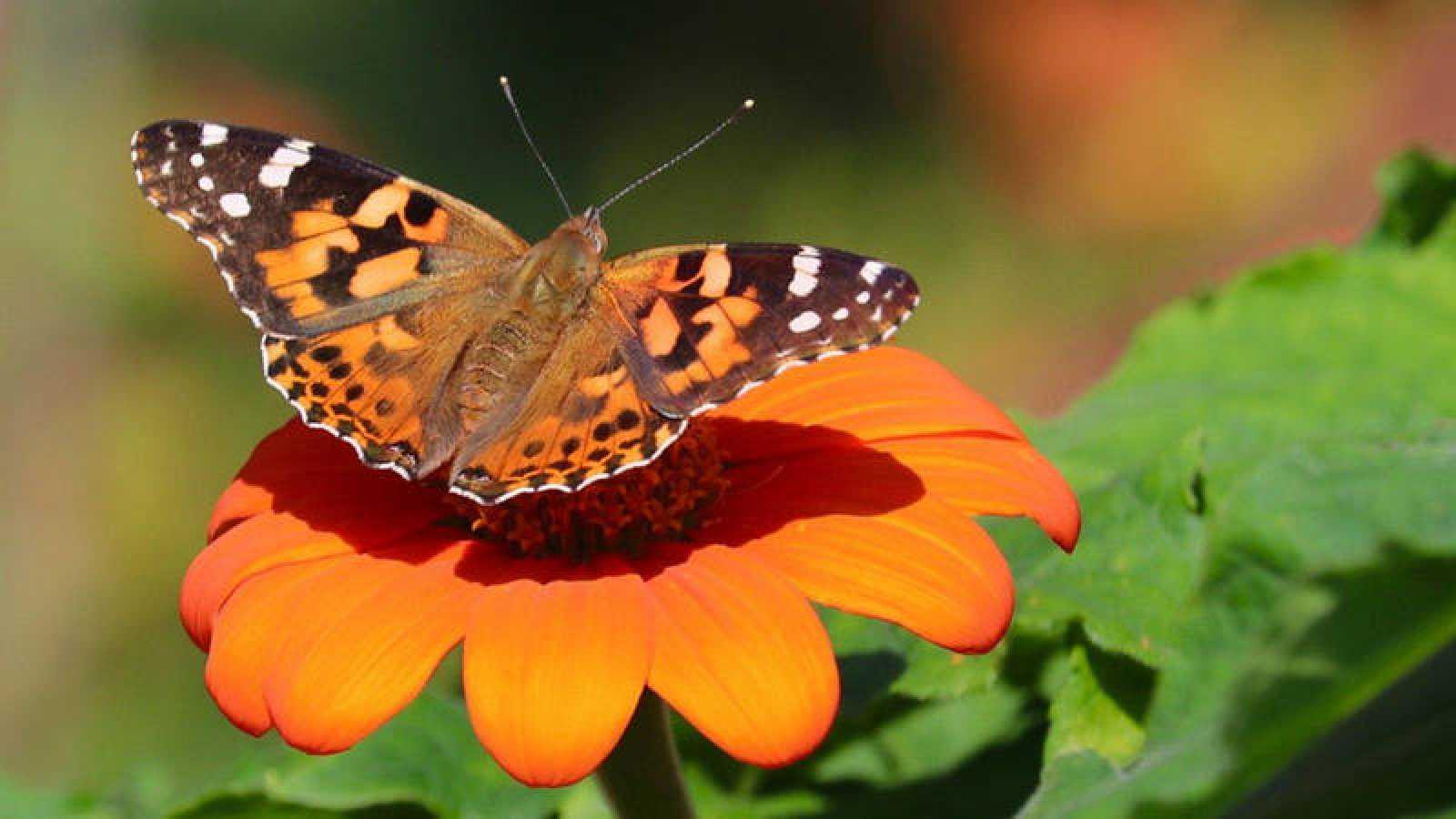 La mariposa de los cardos se instala en África tropical durante los meses de invierno.