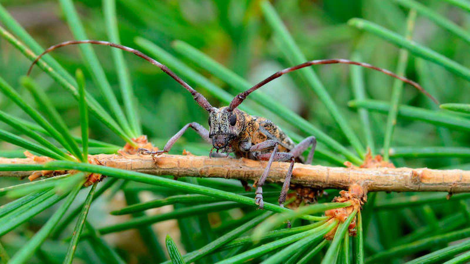 Una especie invasora microscópica amenaza los bosques de coníferas de la Península Ibérica.