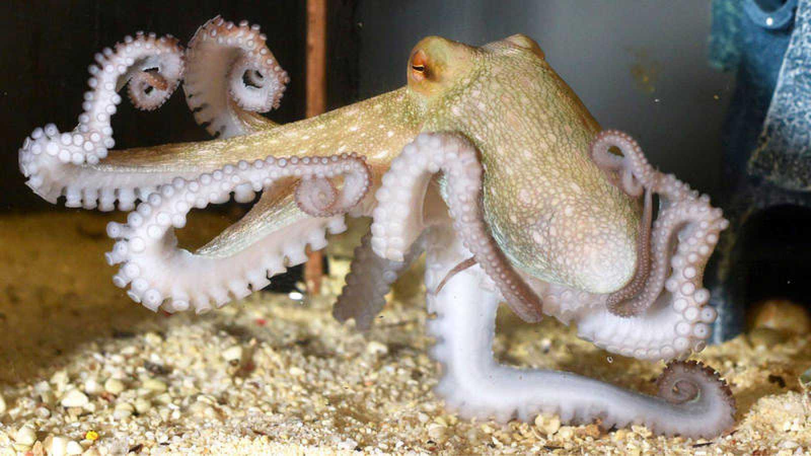 El pulpo común (Octopus vulgaris) es una especie de gran interés comercial en España y el Mediterráneo.
