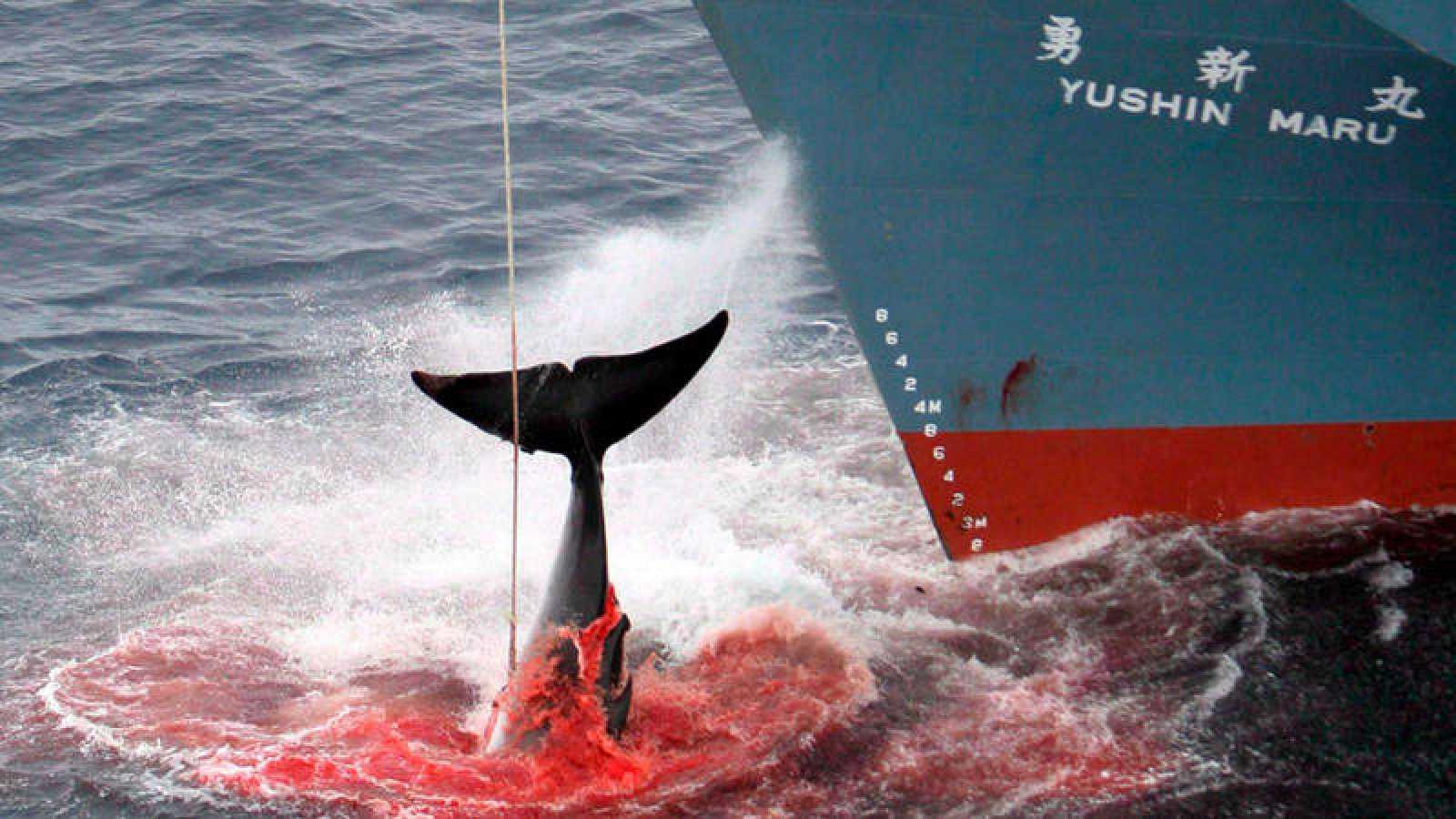 En 2014, la Corte de la Haya declaró ilegal las capturas balleneras japonesas en el Antártico.