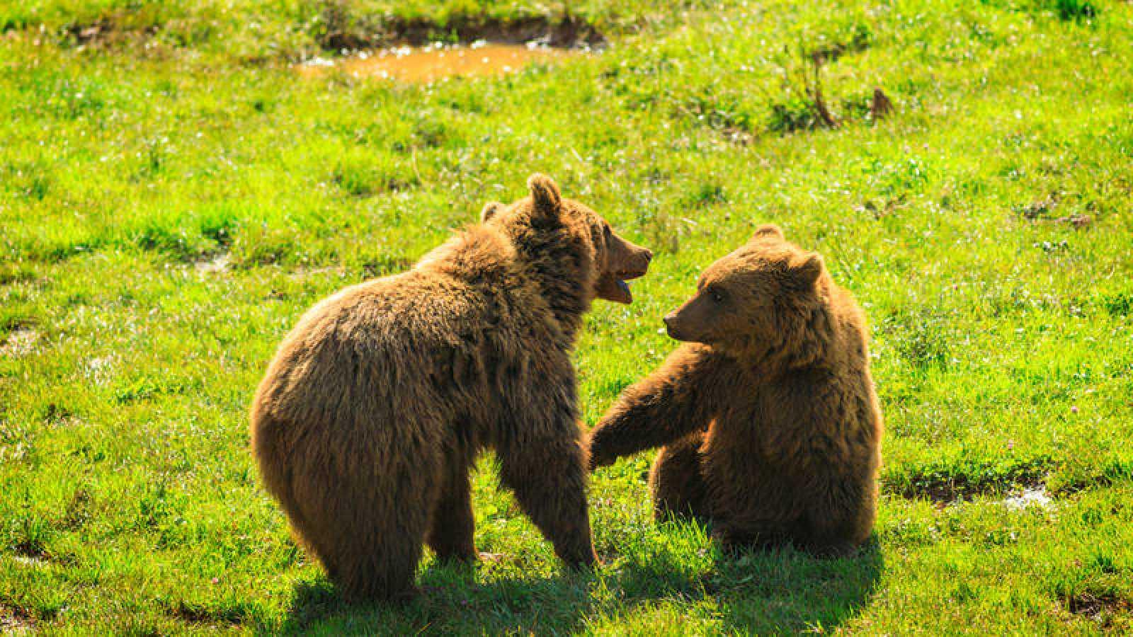 Dos osos cantábricos