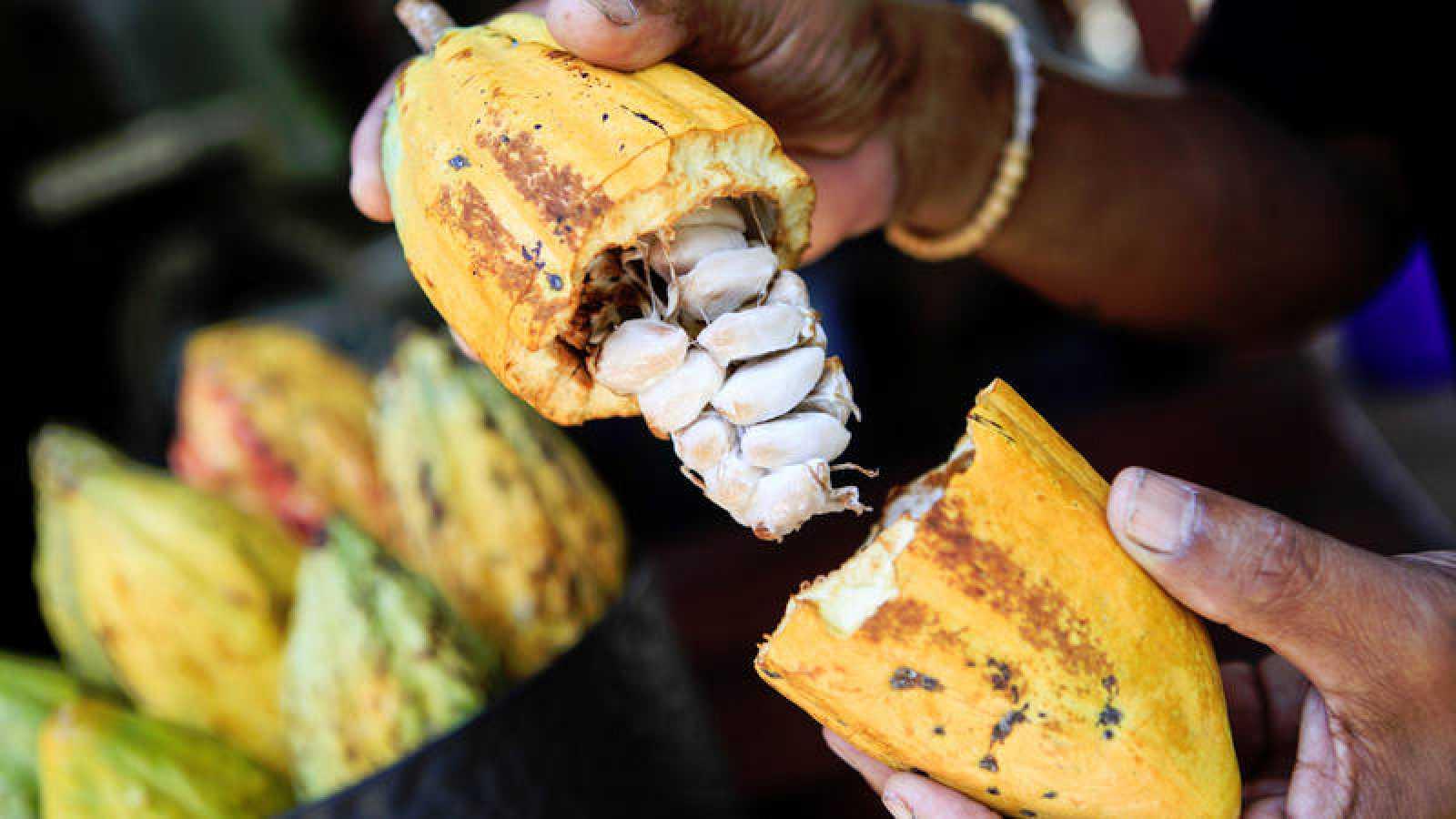 El cacao natural es uno de los alimentos con mayor contenido en polifenoles, con propiedades antioxidantes.