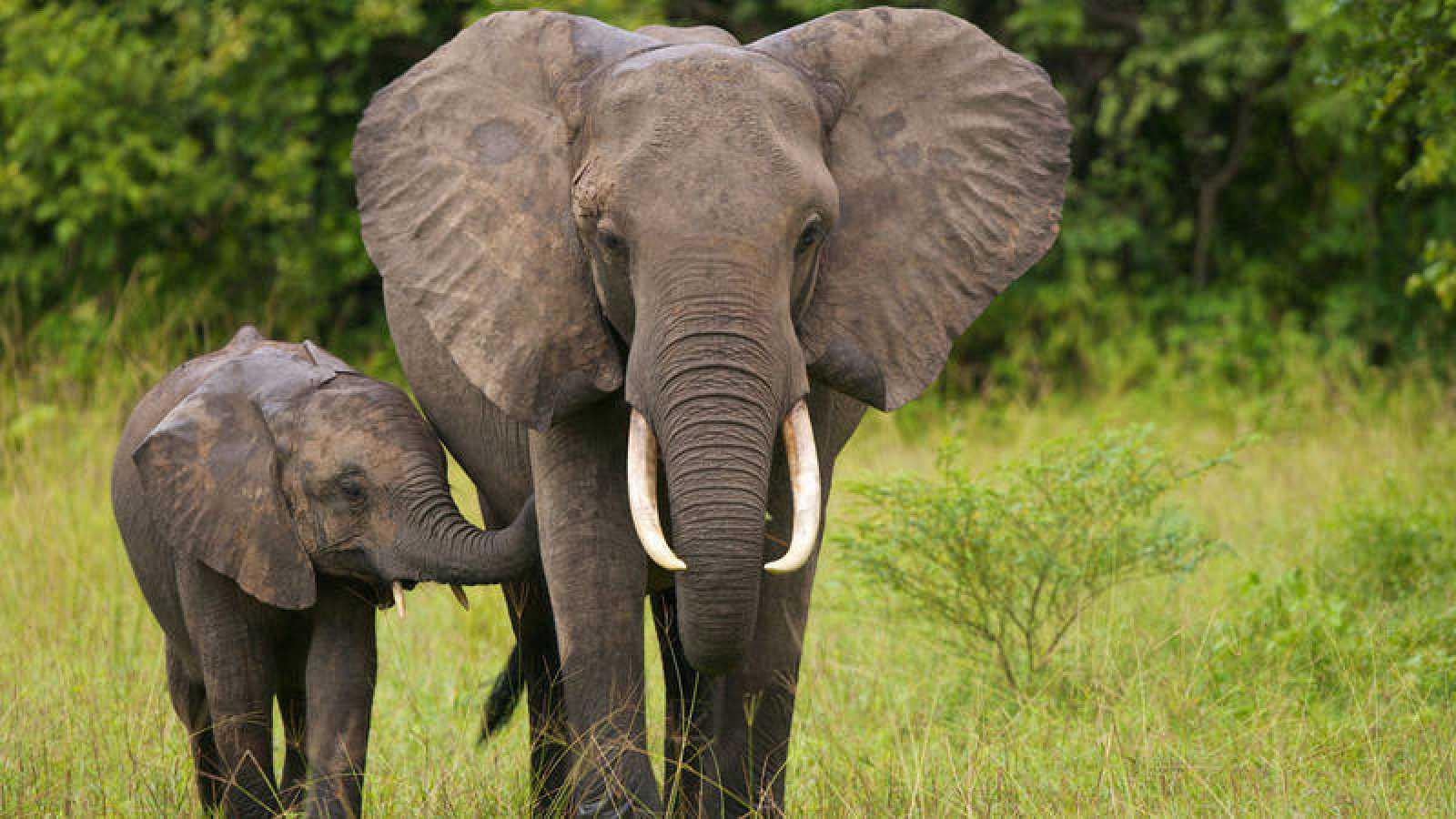 A pesar de la disminuición de la caza furtiva esta especie sigue en peligro de extinción