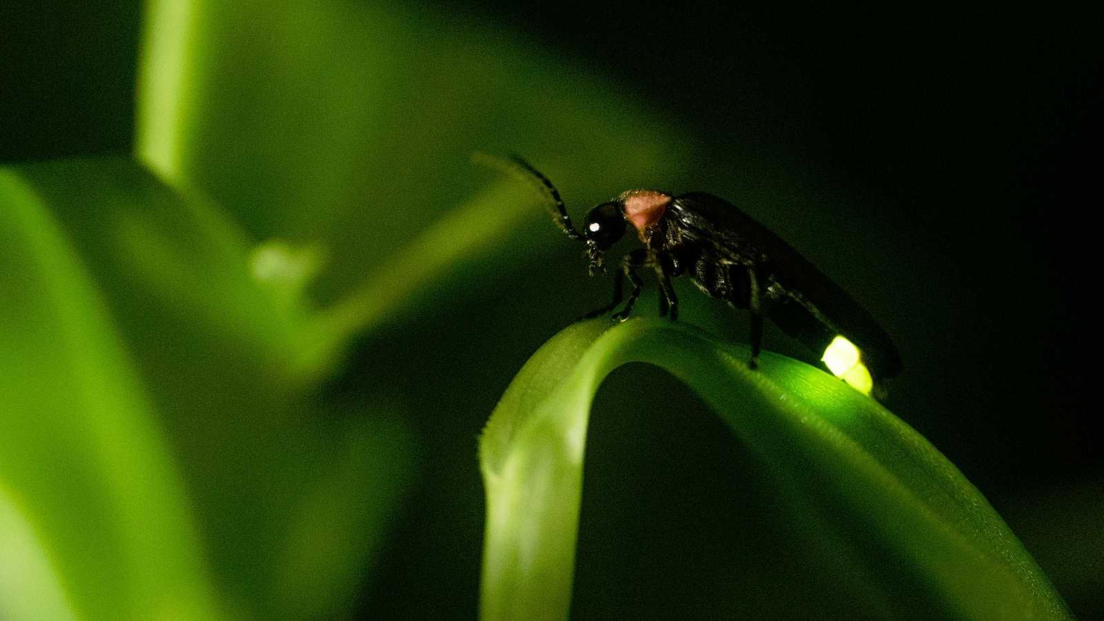 Las luciérnagas pertenecen a un grupo de insectos con más de 2.000 especies diferentes repartidas por todo el mundo.