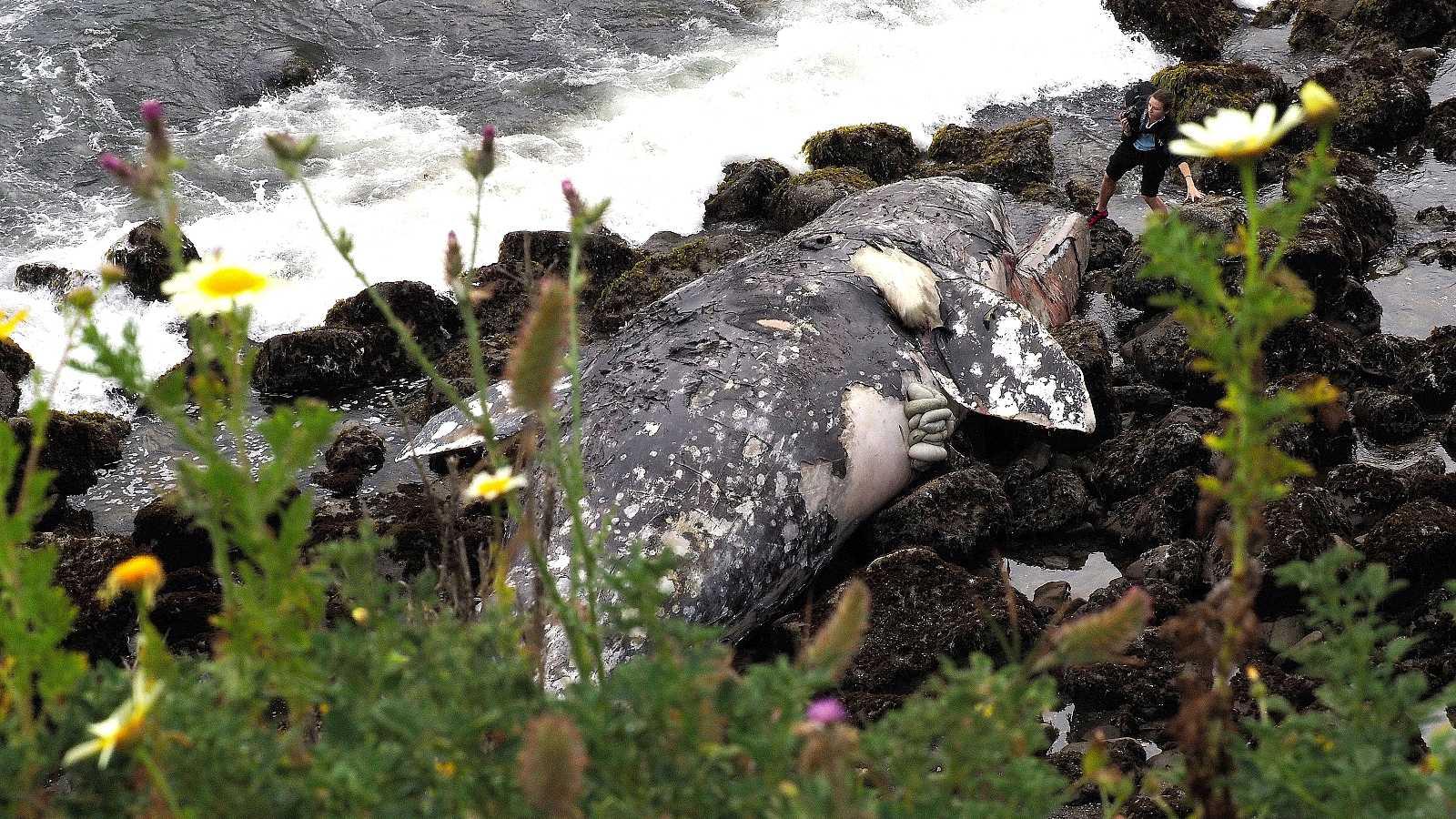 Las tormentas solares afectan a la orientación de las ballenas grises