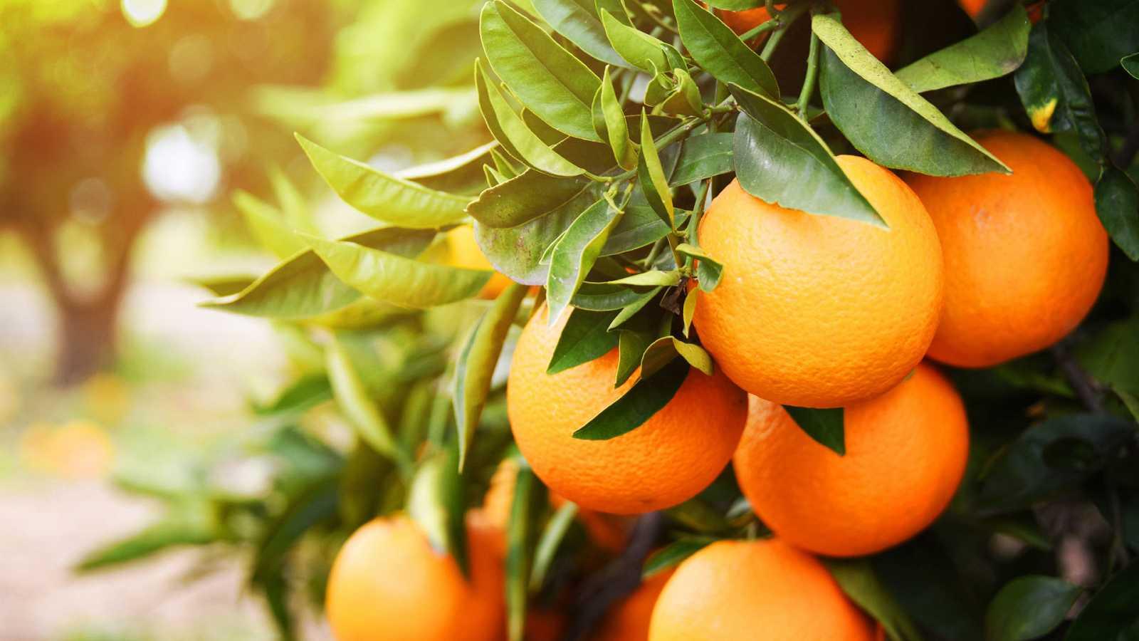 Imagen. Las naranjas podrían reducir la obesidad