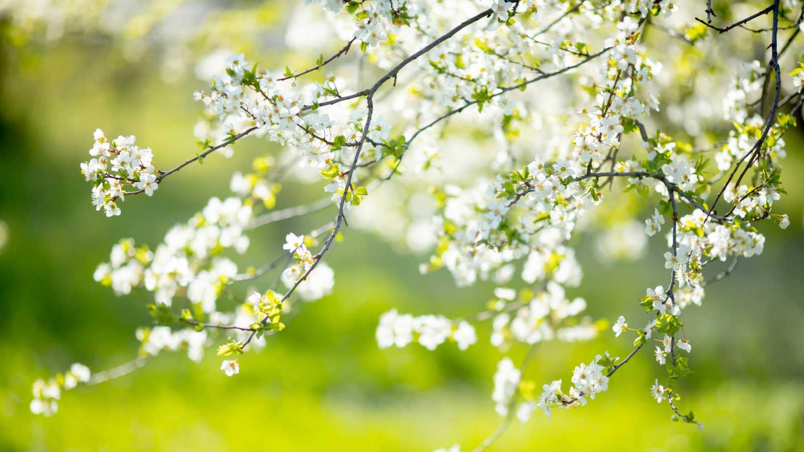Un árbol de cerezo un día de primavera