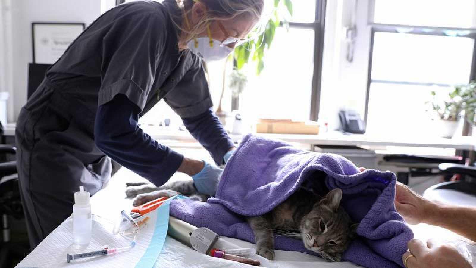 Un gato, atendido en un veterinario de Nueva York.