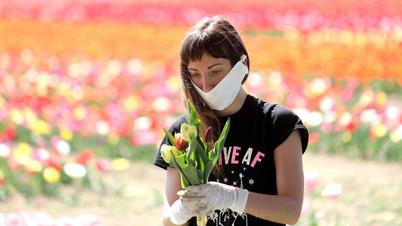 Coronavirus en Italia: Una trabajadora recolecta tulipanes en un campo de cultivo en Arese, cerca de Milán.