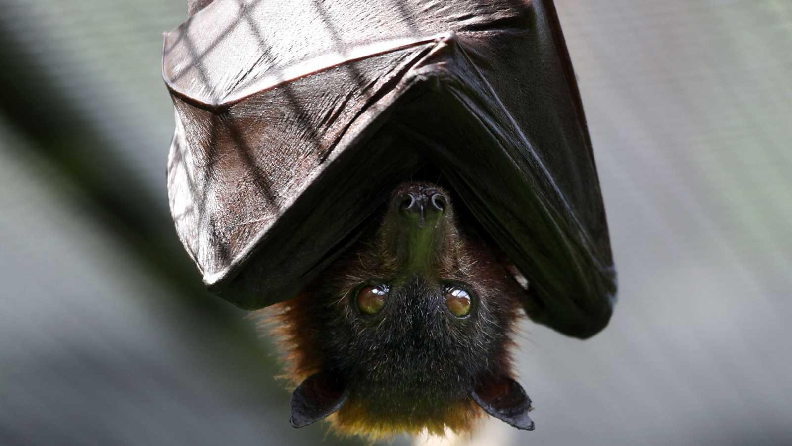 Murciélago de la fruta, zoo de Oakland, California, EE.UU.