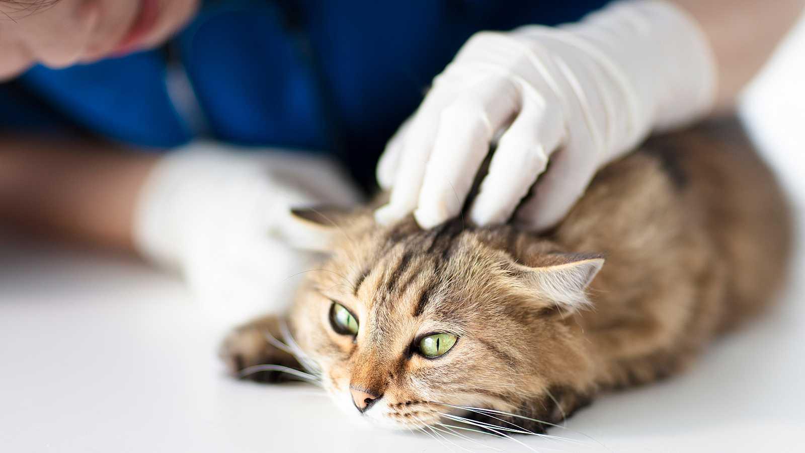 """Los científicos consideran a los gatos como """"víctimas colaterales"""" de la COVID-19 en los humanos."""