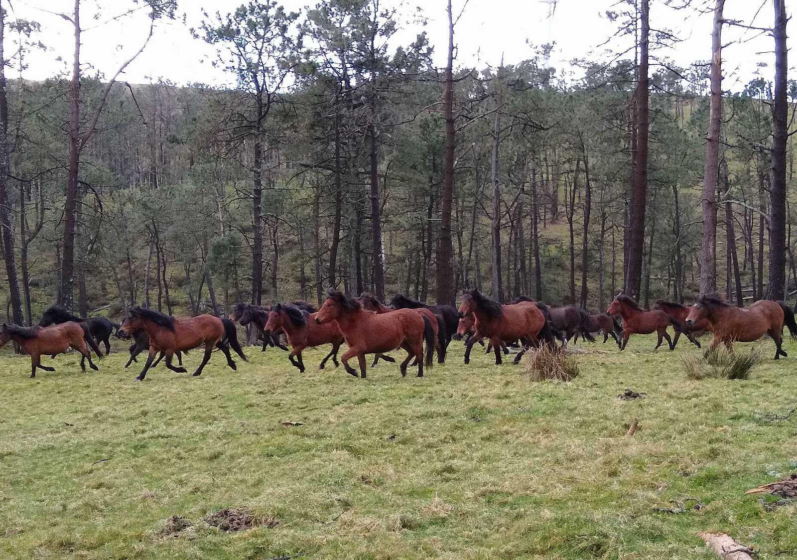 Cabalos de pura raza gallega desbrozando los montes