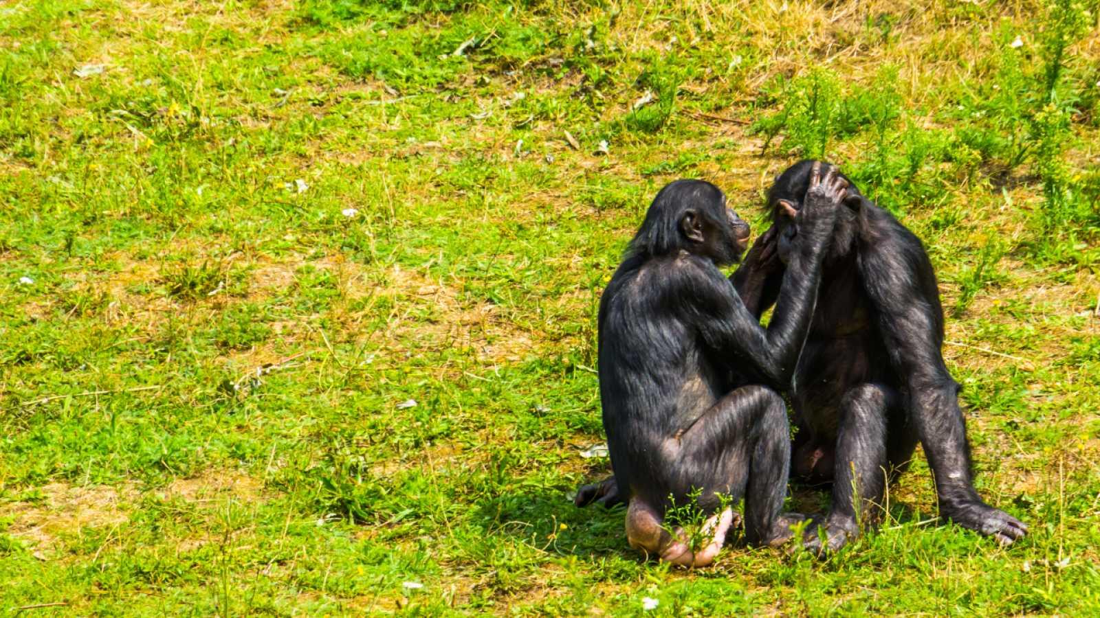 Aquí la Tierra - Pareja de bonobos en la selva
