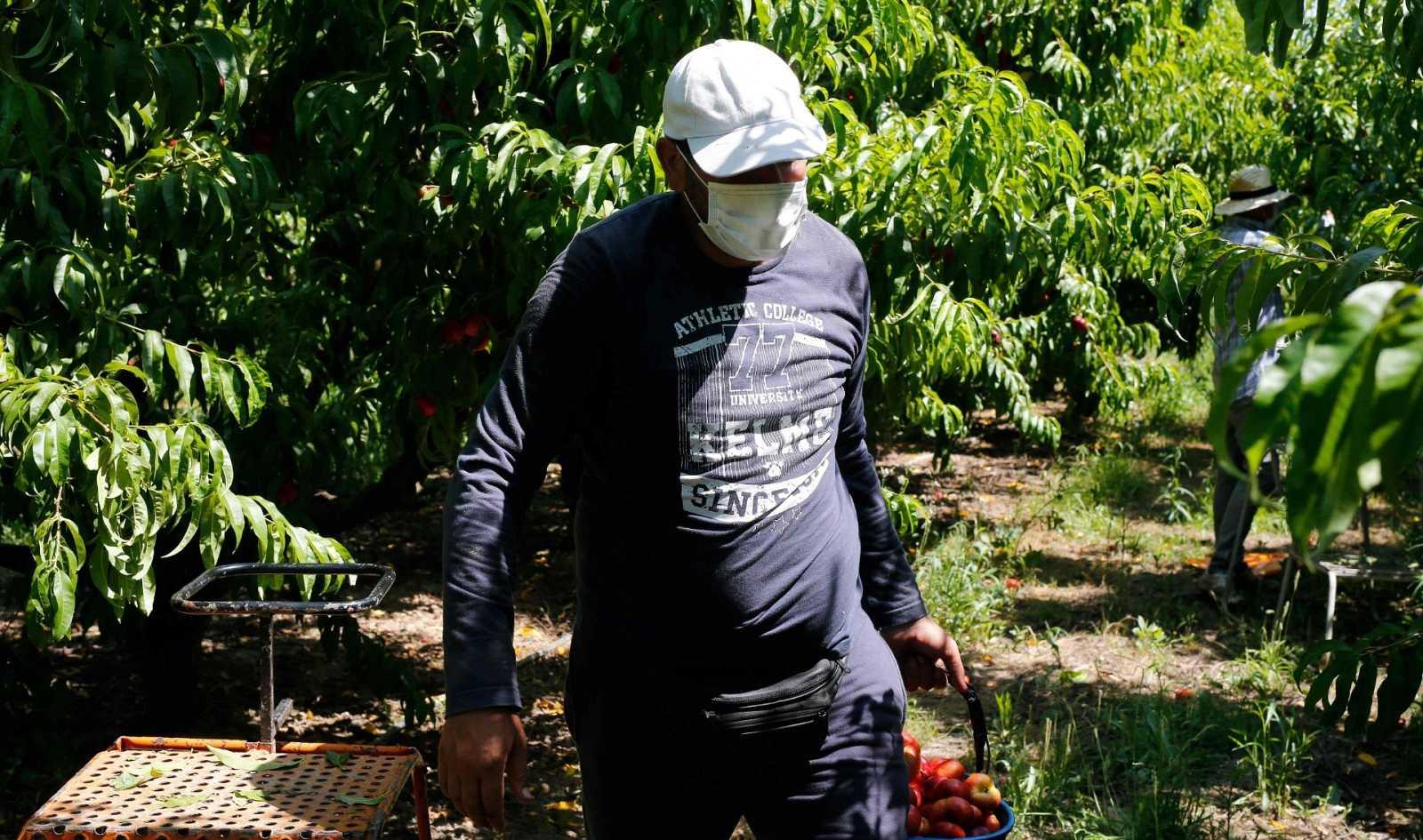 Un temporero recolecta frutas en Fraga el 25 de junio
