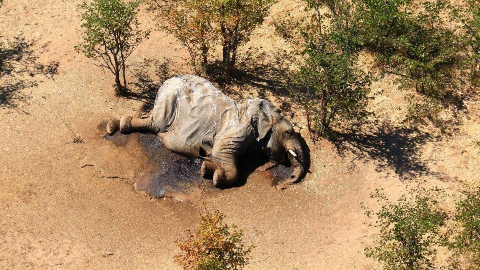 Los científicos culpan a una bacteria de la misteriosa muerte de más de 300 elefantes en Botsuana
