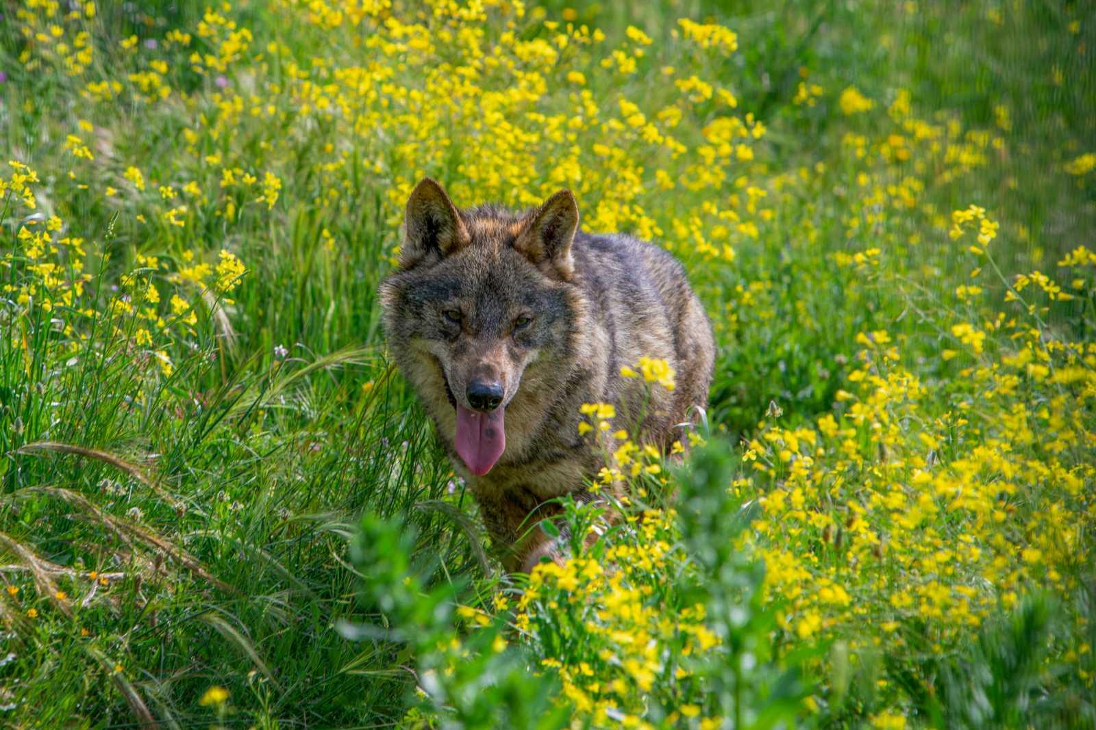 Lobo ibérico: especie en peligro de extinción