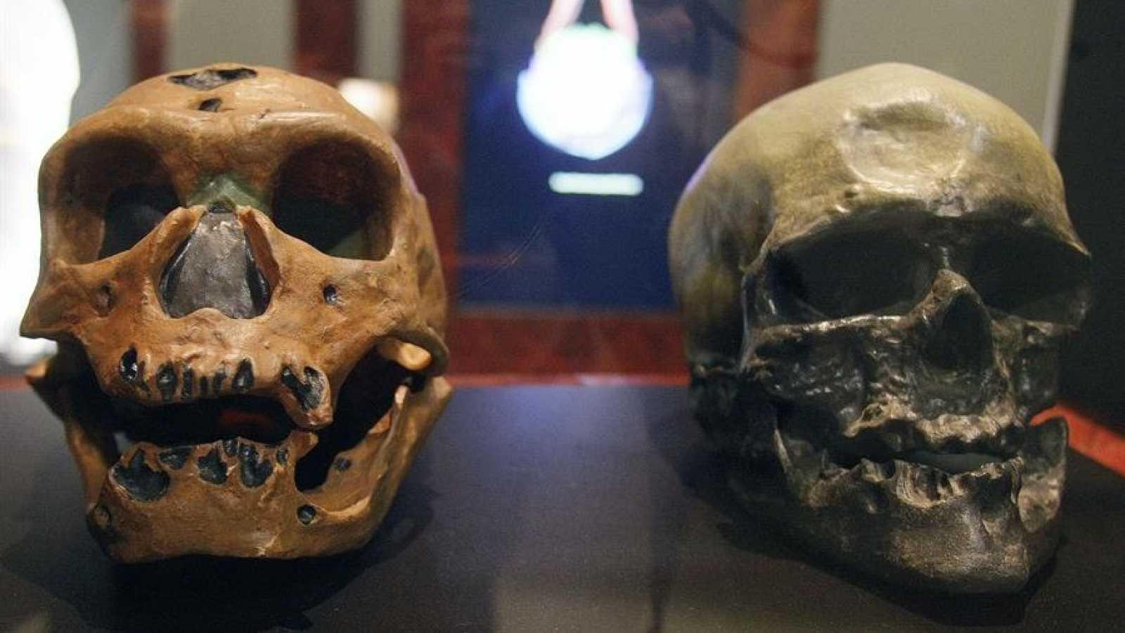 Imagen de archivo de cráneos de un homo neanderthalensis (i) y un homo sapiens (d)
